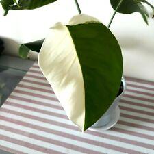 VARIEGATED MONSTERA -ALBO VARIEGATED  RARE  AROID    GORGEOUS PLANT.