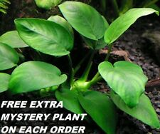 Buy 2 Get 1 Free Anubias Barteri Round Leaf Live Fish Tank Aquarium Plants