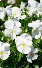 Pensamiento Gigante Suizo Blanco Dama de Flores (blanco Puro) 650 semillas más finos