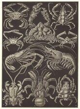 DECAPODS. Edible sping Med Atlantic porcelain coconut purple crab; shrimp 1907