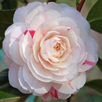 April Dawn Camellia Japonica - Live Plant - Quart Pot