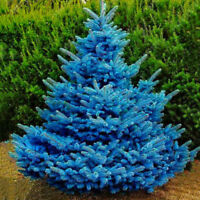 50pcs Colorado Sky Blue Spruce Picea Pungens Glauca Tree Seeds E&F