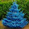 50pcs Colorado Sky Blue Spruce Picea Pungens Glauca Tree Seeds  FDCA LL