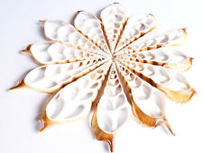 "12 Center Cut Tibia Shells Slice 4"" Seashell Beach Arts Crafts Nautical Decor"
