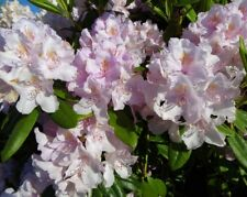 Rhododendron 'Cunningham's Blush' In 5L Pot, Stunning Light Pink Flowers