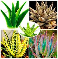 100 PCS Seeds Aloe Vera Rare Herb Plants Tree Bonsai Cosmetic Free Shipping 2019
