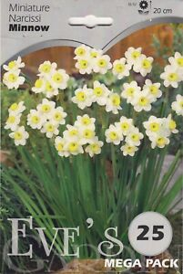 indoor Daffodil Narcis Minnow  - 25 Bulbs Per Pack 20cm