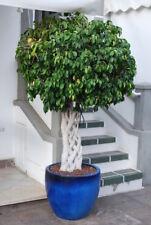 ** Birkenfeige auch Ficus oder Bonsai Zimmerpflanze - Zimmerpflanze - immergrün.