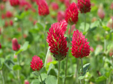 Crimson Clover Seeds -Trifoliate Leaves and Pink to Red Flowers-Reptile-50 Seeds