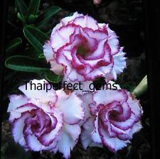 "ADENIUM ""Carnation "" ONE GRAFTED PLANT RARE!!"