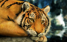 Stampa incorniciata-TIGER (FOTO ANIMALI LEONE Leopardo Giaguaro Pantera grossi GATTI ART)