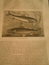 L'ombre Chevalier Poisson Gravure Print 1884