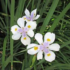 DIETES iridioides Cape Iris Seeds (ES 129)