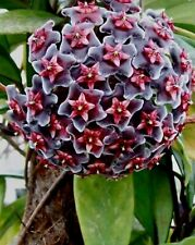 Very Rare House Plant HOYA Pubicalyx RED BUTTON WAX house plant cutting Scented