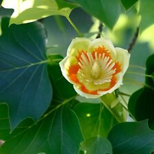 Liriodendron tulipifera, Tulip Poplar tree, 1-2 year old