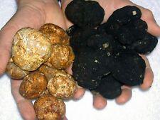 Black & White Mycelium Truffel Truffle Tuber mushroom fungus 10 +10 gr Seeds