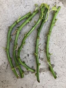 5 Rooted Sweet Potato Slips Fresh Cutting Vine With Roots Ready To Plant