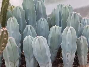 myrtillocactus geometrizans seeds  30  freesh seeds