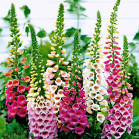 Seeds Digitalis Naperstanka Mix Giant Flower Perennial Outdoor GardenCut Ukraine