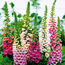 Seeds Digitalis Naperstanka Mix Giant Flower Perennial Outdoor GardenCut Ukraine