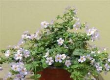 Fleur-Bacopa blutopia - 50 graines-en vrac Pack
