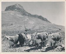 WYOMING c. 1950 - Élevage de Bétail dans les Montagnes USA - GF 109