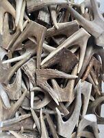 Forked Deer Antler Tips ( 2 pack) Raw Natural Antler