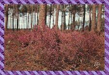 CPM 33 - postal- la foret de las landas con brezo en flor