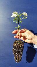 SPIRAEA X ARGUTA alv Spirea arguta pianta Bridal Wreath plant