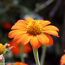 Mexican Sunflower Heirloom Seeds - Non-GMO - Untreated - Open Pollinated!