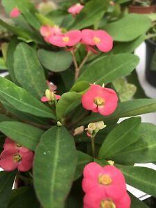 Euphorbia milii (Crown Of Thorns )Plant. 13cm pot