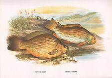 VINTAGE FACSIMILE FISH PRINT ~ CRUCIAN & PRUSSIAN CARP ~ A. F. LYDON