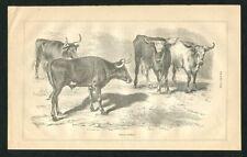 1871 Antique Print of Texas Cattle Texas Longhorn Bull