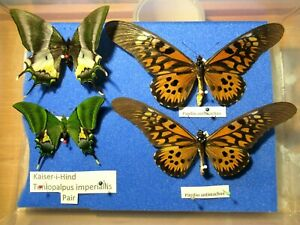StoreBox 3 (4) Tropical Butterfly Moths Insect Lepidoptera Taxidermy Entomology