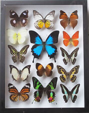 LUXURY STYLE REAL 14 MIX BEAUTIFUL BUTTERFLY WITH ULYSSE IN BLACK FRAME DISPLAY