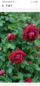 Othello red highly fragrant bare rooted plant