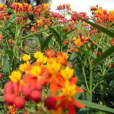 Butterfly Weed- Mexican - (Asclepias Curassavica) - 100 seeds