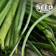 Chive Seeds - 150 SEEDS NON-GMO