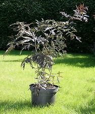 Holunder Sambucus nigra 'Black Lace'®  40 - 60 cm im Container
