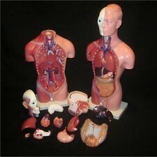 18 inch Anatomical Male Torso Human Anatomy Medical Model 13 Parts NEW