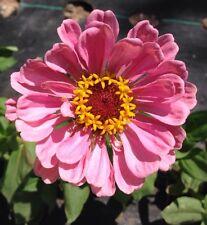 ZINNIA Seed, Cactus Flowered Mix, Organically Grown, 30+ Seeds