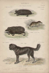 Mole Shrew Hedgehog Thibet Dog Landseer Antique Print