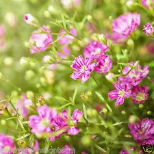 CRIMSON GYPSOPHILA - 1600 SEEDS – Gypsophila elegans - Annual flower