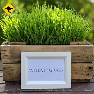 Wheatgrass Seeds 250 to 100,000 - Grow Wheat Seed for your Pets or Yourself  🌾
