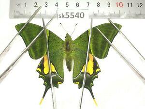 SK5540 # Unmounted Butterfly Teinopalpus imperialis North Vietnam