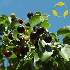 MAHALEB CHERRY Prunus Mahaleb - 20+ SEEDS