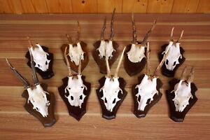 10 x Rehgehörne auf Trophäenbretter  Roe Deer Trophies