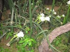 Night Blooming Cereus Cactus -5 Nice Healthy Cuttings!!! Easy to Grow - Unique!