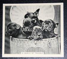 French Bulldog Puppies  Original  Vintage 1935 Photo Card VGC