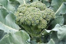 Broccoli, Waltham 29, Heirloom, Organic 25+ Seeds, Delicious And Healthy